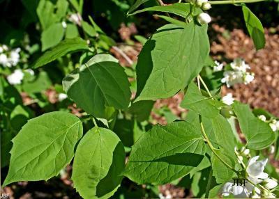 Philadelphus x virginalis 'Minnesota Snowflake' (Minnesota Snowflake virginal mock-orange), leaves