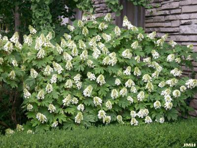 Hydrangea quercifolia 'Snow Queen' (Snow Queen oak-leaved hydrangea), growth habit, shrub form