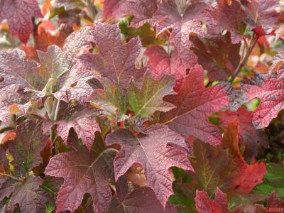 Hydrangea quercifolia 'Snow Queen' (Snow Queen oak-leaved hydrangea), leaves, fall color