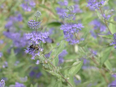 Caryopteris x clandonensis 'Blue Mist' (Blue Mist bluebeard), flowers with pollinator