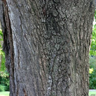 Juglans nigra L. (black walnut), bark