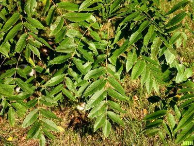 Juglans nigra L. (black walnut), leaves