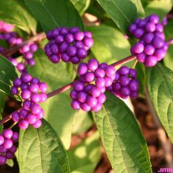 Callicarpa dichotoma 'Issai' (Issai purple beautyberry), close-up of fruit