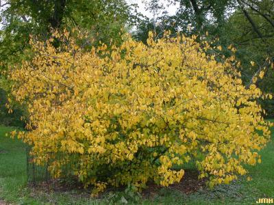 Lindera benzoin (L.) Blume (spicebush), growth habit, fall color