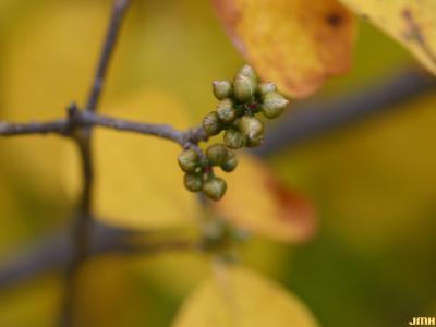 Lindera benzoin (L.) Blume (spicebush), buds