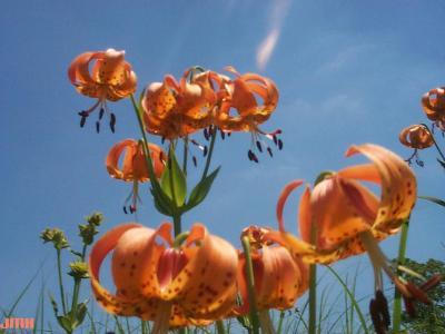 Lilium michiganense Farw. (Michigan lily), flowers