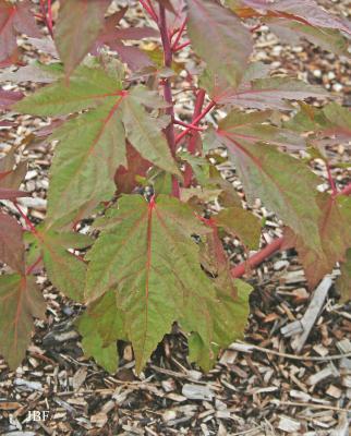 Hibiscus 'Kopper King' (Kopper King hibiscus), leaves