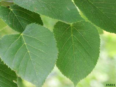Tilia americana L. (American basswood), leaves