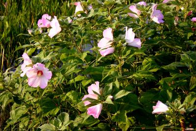 Hibiscus palustris L. (swamp rose mallow), flowers