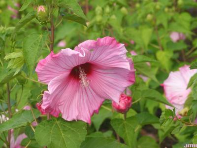 Hibiscus 'Sweet Caroline' (Sweet Caroline hibiscus) PP7,608, flower