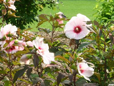 Hibiscus 'Kopper King' (Kopper King hibiscus), flowers