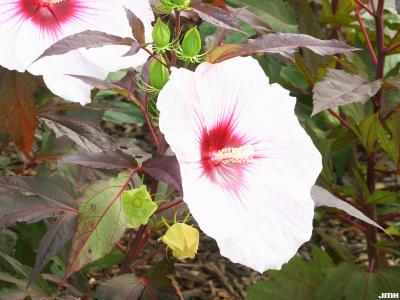 Hibiscus 'Kopper King' (Kopper King hibiscus), flower