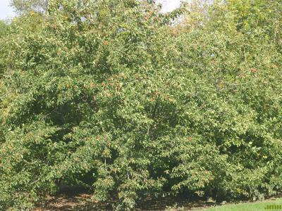 Cudrania tricuspidata (Carrière) Bureau ex Lavallée (storehousebush), growth habit, tree form