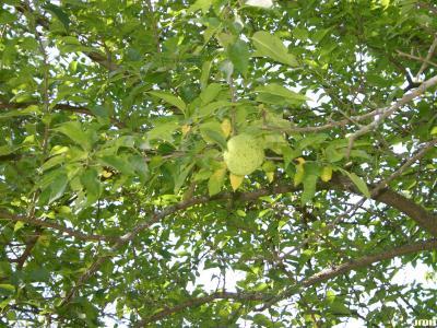 Maclura pomifera (Raf.) C. K. Schneid. (Osage-orange), branches with fruit