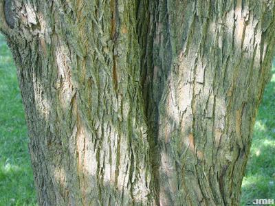 Maclura pomifera (Raf.) C. K. Schneid. (Osage-orange), bark