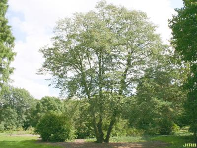 Tilia cordata Mill. (little-leaved linden), growth habit, tree form