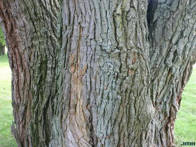 Morus alba L. (white mulberry), bark