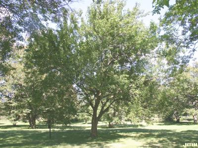 Maclura pomifera (Raf.) C. K. Schneid. (Osage-orange), growth habit, tree form