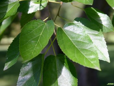 Morus alba L. (white mulberry), close-up of leaves