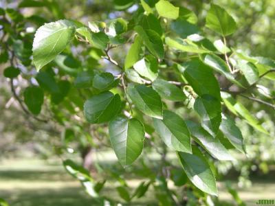 Morus alba L. (white mulberry), leaves