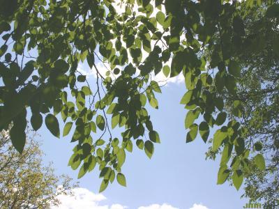 Morus alba L. (white mulberry), branches