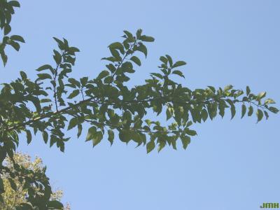 Maclura pomifera (Raf.) C. K. Schneid. (Osage-orange), branch