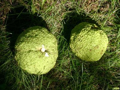 Maclura pomifera (Raf.) C. K. Schneid. (Osage-orange), fruit