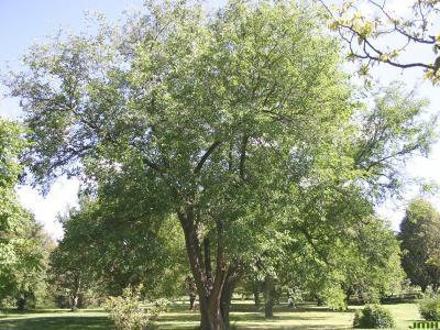 Morus alba L. (white mulberry), growth habit, tree form