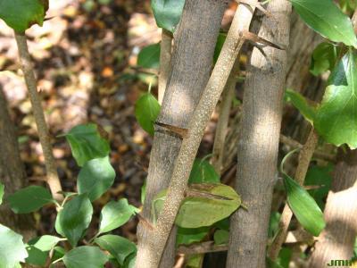 Cudrania tricuspidata (Carrière) Bureau ex Lavallée (storehousebush), bark