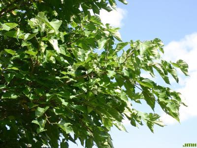 Morus australis Poir. (Japanese mulberry), branch