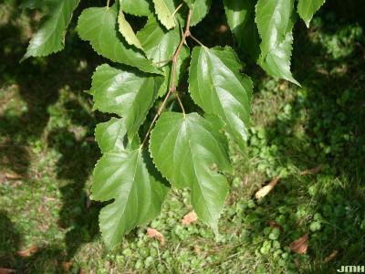 Morus australis Poir. (Japanese mulberry), leaves