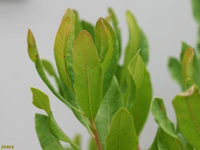 Myrica pensylvanica Loisel. (bayberry), close-up of leaves