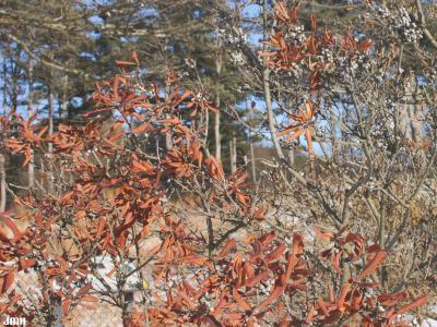 Myrica pensylvanica Loisel. (bayberry), branches, fall color