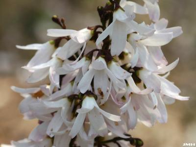 Abeliophyllum distichum Nakai (white-forsythia), close-up of flowers
