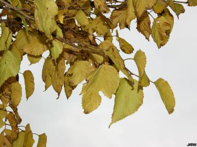 Morus australis Poir. (Japanese mulberry), leaves, fall color