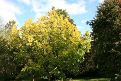 Fraxinus nigra Marsh. (black ash), growth habit, tree form, fall color