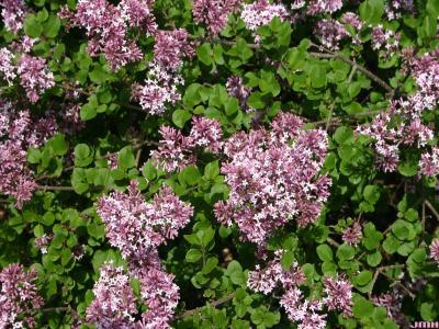 Syringa meyeri 'Palibin' (Palibin lilac), flowers