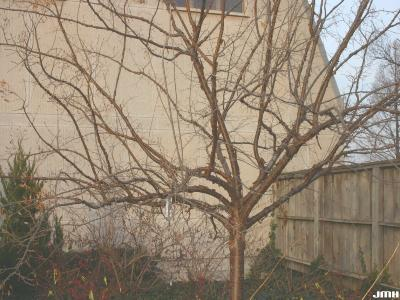 Syringa pekinensis 'Morton' (Peking lilac – CHINA SNOW® ), growth habit, shrub form, winter