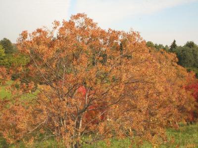 Syringa reticulata ssp. reticulata (Japanese tree lilac), growth habit, tree form, fall color
