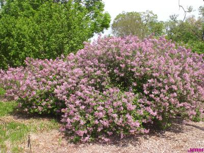 Syringa meyeri 'Palibin' (Palibin lilac), growth habit, shrub form