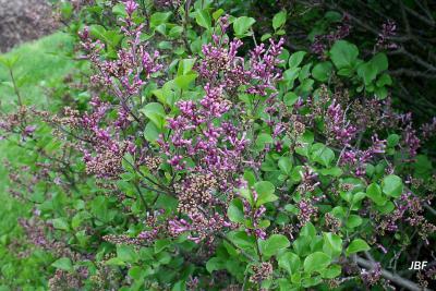 Syringa meyeri 'Palibin' (Palibin lilac), flowers, habit