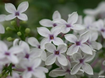 Syringa x persica 'Alba' (White Persian lilac), close-up of flowers