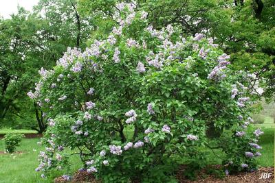 Syringa vulgaris 'Michel Buchner' (Michel Buchner common lilac), growth habit, shrub form