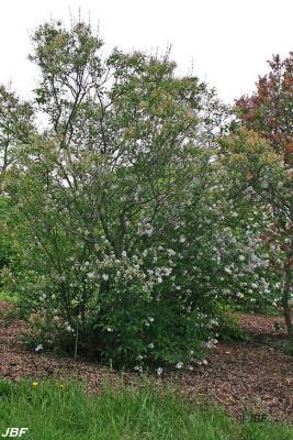 Syringa x persica 'Alba' (White Persian lilac), growth habit, shrub form