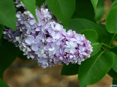 Syringa vulgaris 'Michel Buchner' (Michel Buchner common lilac), flowers