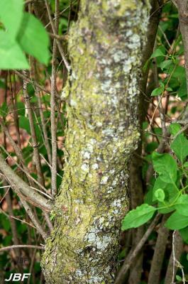 Syringa x persica 'Alba' (White Persian lilac), bark