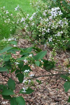 Syringa x persica 'Alba' (White Persian lilac), branch