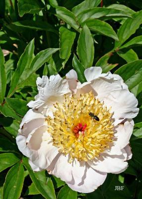 Paeonia hybrid (peony), flower, pollinator at work