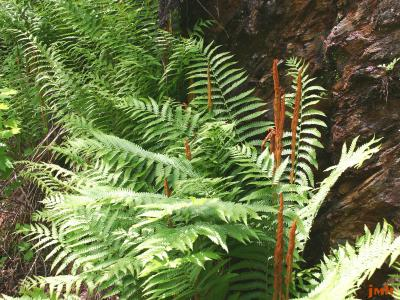 Osmunda cinnamomea L. (cinnamon fern), fronds with fertile stalks