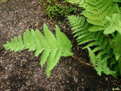 Osmunda claytoniana L. (interrupted fern), fronds